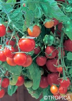 Lycopersicon Esculentum Tumbling Tom F1 Rot Hange Tomate