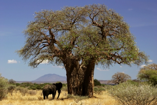 Affenbrotbaum Baobab (6 Korn)
