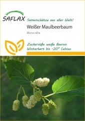 Weißer Maulbeerbaum (200 Korn)