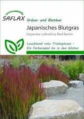 Japanisches Blutgras (50 Korn)