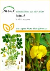 Erdnuß - Arachis hypogaea (8 Korn)