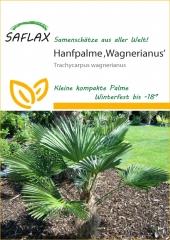 Hanfpalme wagnerianus (4 Korn)