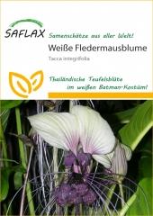 Weiße Fledermausblume (10 Korn)