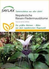 Nepal. Riesen Fledermausblume (10 Korn)