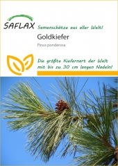 Goldkiefer - Pinus ponderosa (20 Korn)