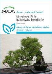 Mittelmeer-Pinie - Pinus pinea (6 Korn)