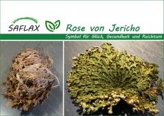 Rose von Jericho (1 Stck. / 1. Wahl)