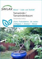 Tamarinde - Tamarindus indica (4 Korn)