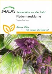 Fledermausblume (10 Korn)