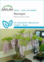 Blauregen - Wisteria floribunda (4 Korn)