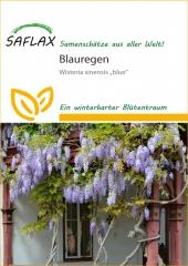 Blauregen - Wisteria sinensis (4 Korn)